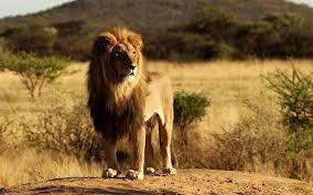lion wallpaper hd widescreen. Exellent Widescreen Lion Photou0027s  HD Lions Full Size Widescreen Wallpapers King  Alone In  With Wallpaper Hd Widescreen