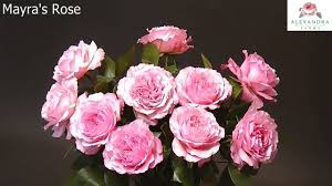 Mayra's Rose, Deluxe Garden Rose / Alexandra Farms