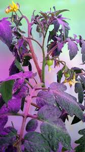 КОНТРОЛЬНЫЕ ИСПЫТАНИЯ ФИТОСВЕТИЛЬНИКОВ СТК Техноинвест без использования фитосветильника выращивание на подоконнике