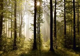 Fototapete Natur Wald Bäume Foto 360 Cm X 254 Cm