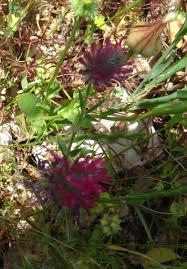 Trifolium purpureum - Wikispecies