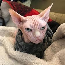 angry hairless cat. Fine Angry An Oddly Handsome Sphynx Cat Whose Naked Wrinkled Face Makes Him Appear  Perpetually Angry To Hairless Laughing Squid