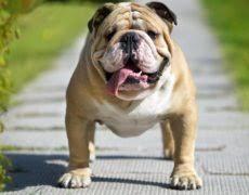 english bulldog full grown. Perfect Bulldog Victorian Bulldog Full Grown In English O