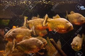 Banco di pesci piranha tropicali in acquario dacqua dolce foto