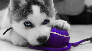 cute siberian husky puppy wallpaper. Delighful Puppy Cute Siberian Husky Puppy Wallpaper Httpifttt2C5Zdti  Siberianhuskypuppy Intended K