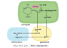 Photorespiration Article Photosynthesis Khan Academy