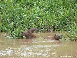 wildlife in the tambopata national reserve capybara the world s largest rodents