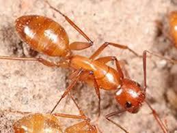 carpenter ant pic.  Carpenter Identification Occasionally Swarms Of Winged Carpenter Ant  Inside Carpenter Ant Pic C