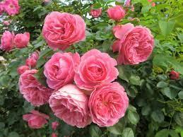 Jasmine Flower Hd Wallpapers - Fresh ...