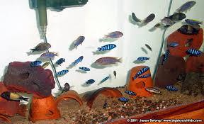 Big Sky Cichlids Setting Up A Cichlid Aquarium