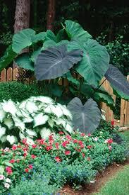 With huge, lush foliage, Black Magic elephant ears make an everyday garden  look like