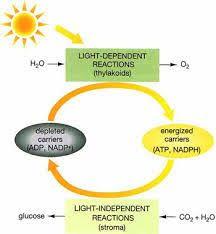 Light Dependent Reactions Flow Chart Google Search Chart