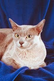 Burmese Kitten Weight Chart The Average Weight Of A Burmese Cat Pets