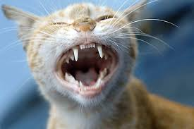 Kitten Teeth Chart Retained Deciduous Teeth In Cats Symptoms Causes