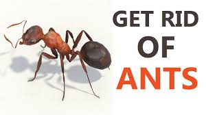 10 best home remes to get rid of ants how to get rid of ants naturally at home