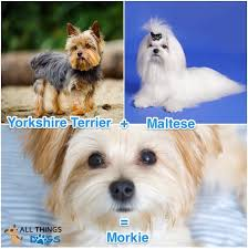 Morkie Puppy Weight Chart Morkie Dog Complete Guide To Maltese Yorkie Mix All