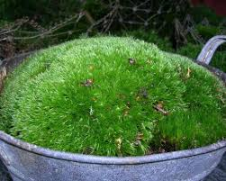 a moss garden can also consist of moss in a bowl very decorative and mobile