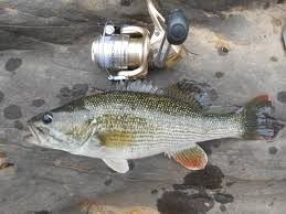 Types Of Bass Fish Chart Black Bass How Many Species Are There The Fisheries Blog