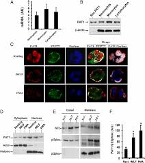 Kinesin Light Chain Antibody The Kinesin Light Chain Related Protein Pat1 Promotes