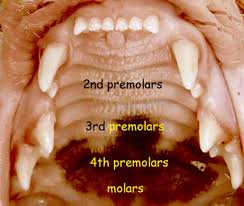 Kitten Teeth Chart 45 Punctilious Cat Teeth Diagram