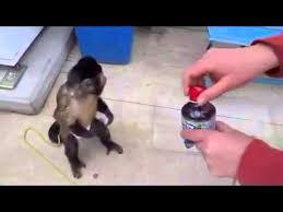 Monkey Uses Vending Machine Simple Monkey Uses Vending Machine YouTube