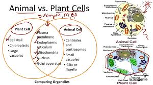 Venn Diagram Plants Best Plant And Animal Cell Venn Diagram Vs Cells For Educational