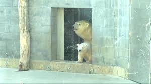 toledo zoo baby polar bear almost ready for public debut