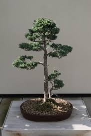Sawara cypress