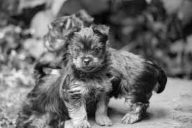 silky dog white. two australian silky terrier puppies black and white photo dog
