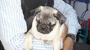 Pug Dog Vaccination Chart Pet Care Pug Puppy Information