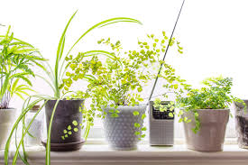 DIY. Maidenhair Ferns Are Finicky Plant ...