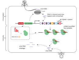 Genome Editing Human Genome Editing Crispr And Ethical Considerations