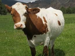 Jersey Calf Weight Chart Jersey Cattle Information Modern Farming Methods