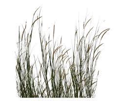 wild grass texture. Ilalang.png Wild Grass Texture