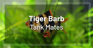 Tiger Barb Compatibility Chart 15 Best Tiger Barb Tank Mates Full List Of Tiger Barb