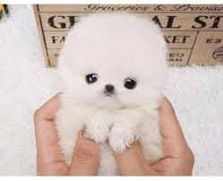 purely micro teacup pomeranian puppies