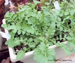 arugula growing in a container plant