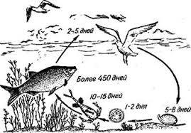 Дипломная работа Диагностика и профилактика инвазионных  Схема развития лигулеза рыб