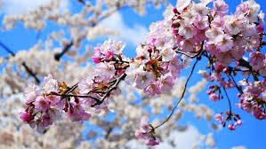 Bunga Sakura Fakta Tentang Bunga Sakura Ternyata Tidak Hanya Ada Di