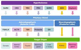Hormones And Their Functions Chart Endocrine System Bioninja