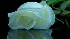White Roses Wallpaper Download Free HD ...