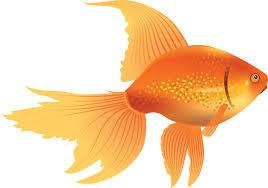 gold fish clip art. Exellent Clip Goldfish Clipart Throughout Gold Fish Clip Art H