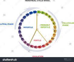 Menstrual Calendar Average Menstrual Cycle Twenty Stock