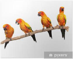 Plakát Happy Sun Conure Papoušci Na Okoun Na Bílém Pozadí