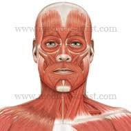 face anatomy anatomy of the head and neck medical illustrations showing the