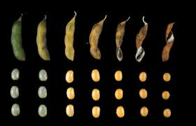 Soybean Hail Damage Chart Soybean Growth And Development