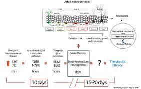 Mechanism Of Action Of Antidepressants Chronic