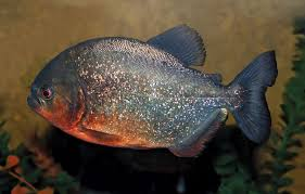 10 Of The Worlds Most Dangerous Fish Britannica