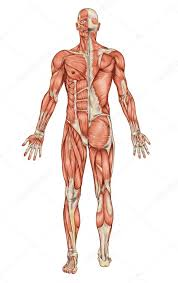 The Muscular System Stock Pictures Royalty Free Muscular
