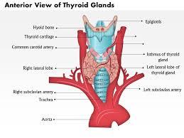 Thyroid Anatomy 0514 Anatomy Of Thyroid Glands Anterior View Graphics